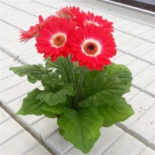 Гербера Colorbloom Bicolor Red White NEW 2020